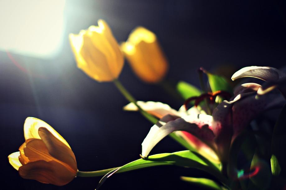 sunlit tulips