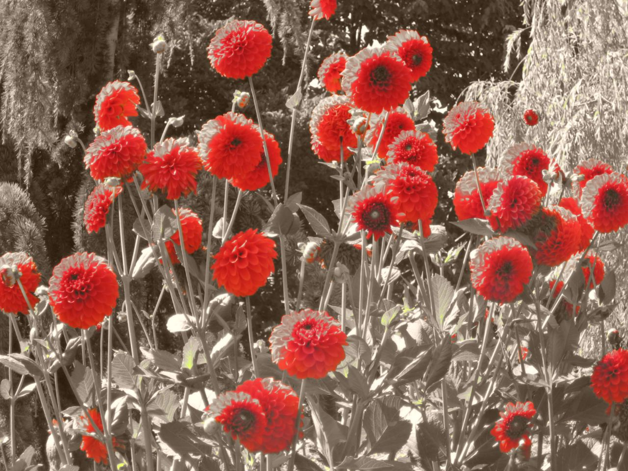 red dahlias