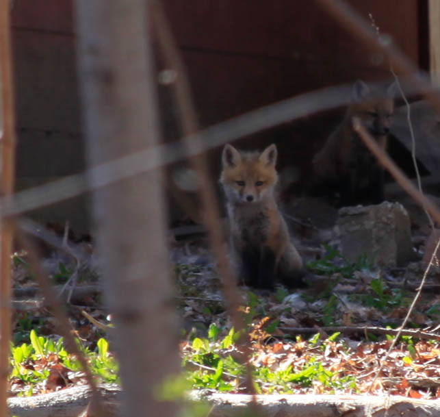 fox and friends...or rather his siblings.  in our backyard