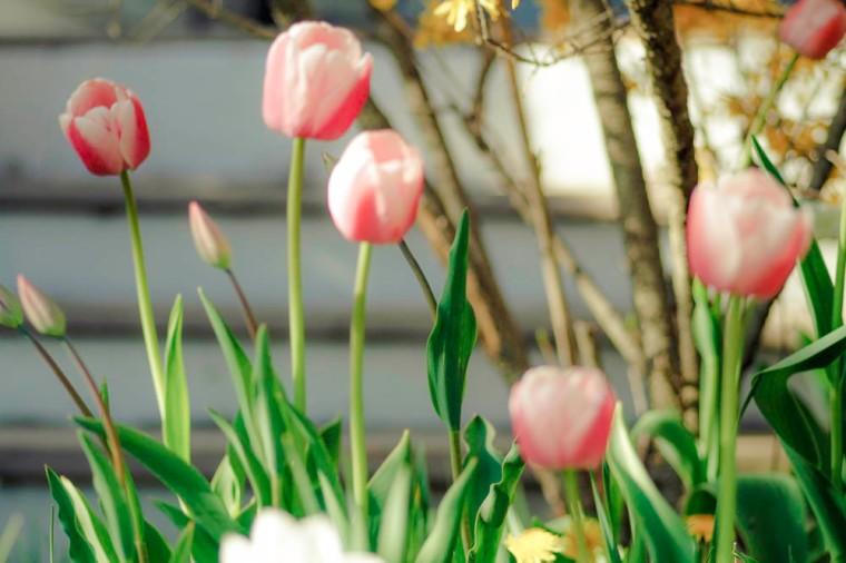 maine tulip