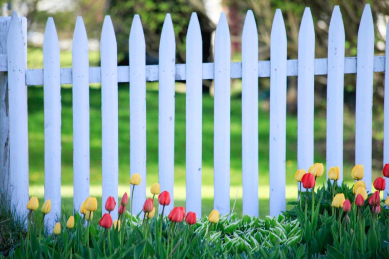 tulips and white picked fence