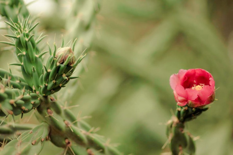 texas cactus