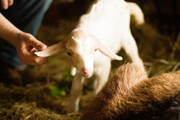 baby goat ears