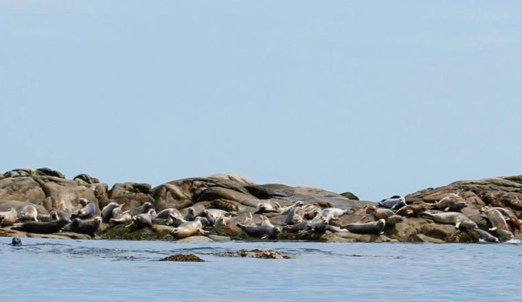Maine seals