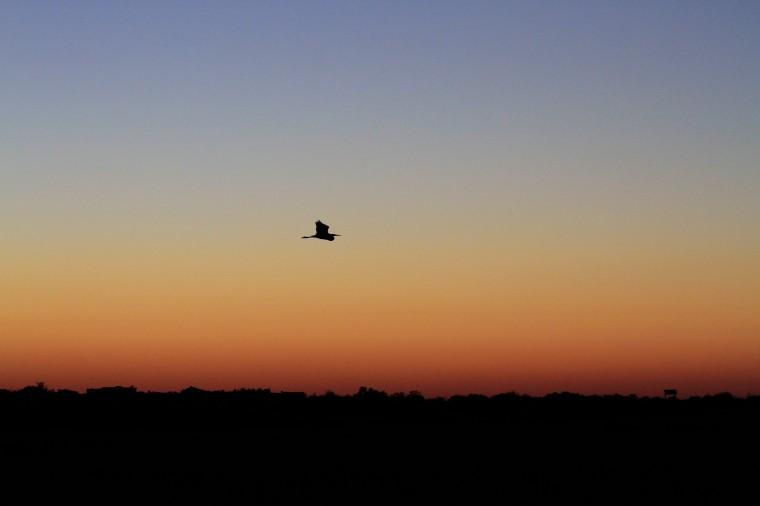 twilight bird in flight