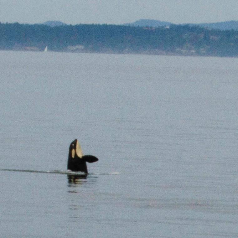 spyhopping orca