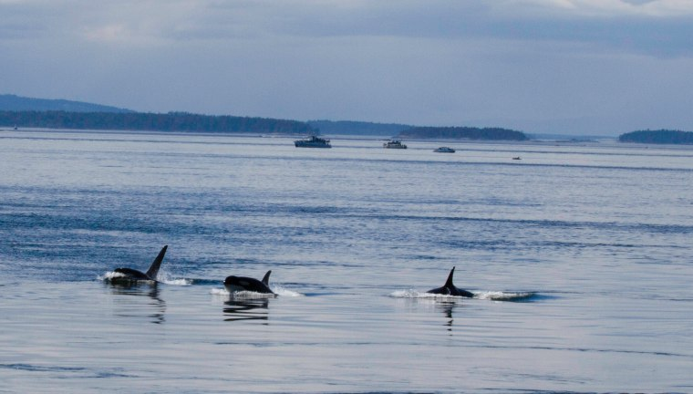 Southern Resident Orca approaching Lime Kiln Park