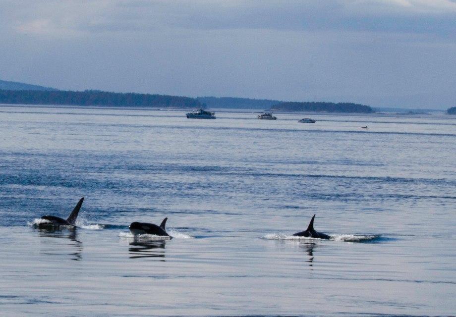 Orca Sing San Juan Island