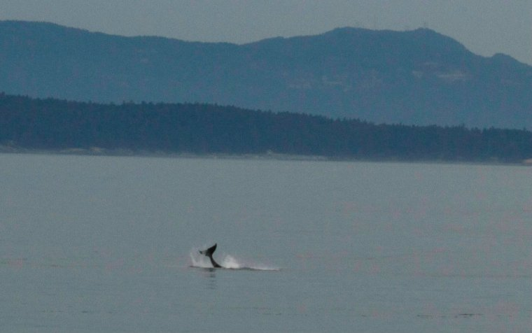 pacific northwest orca