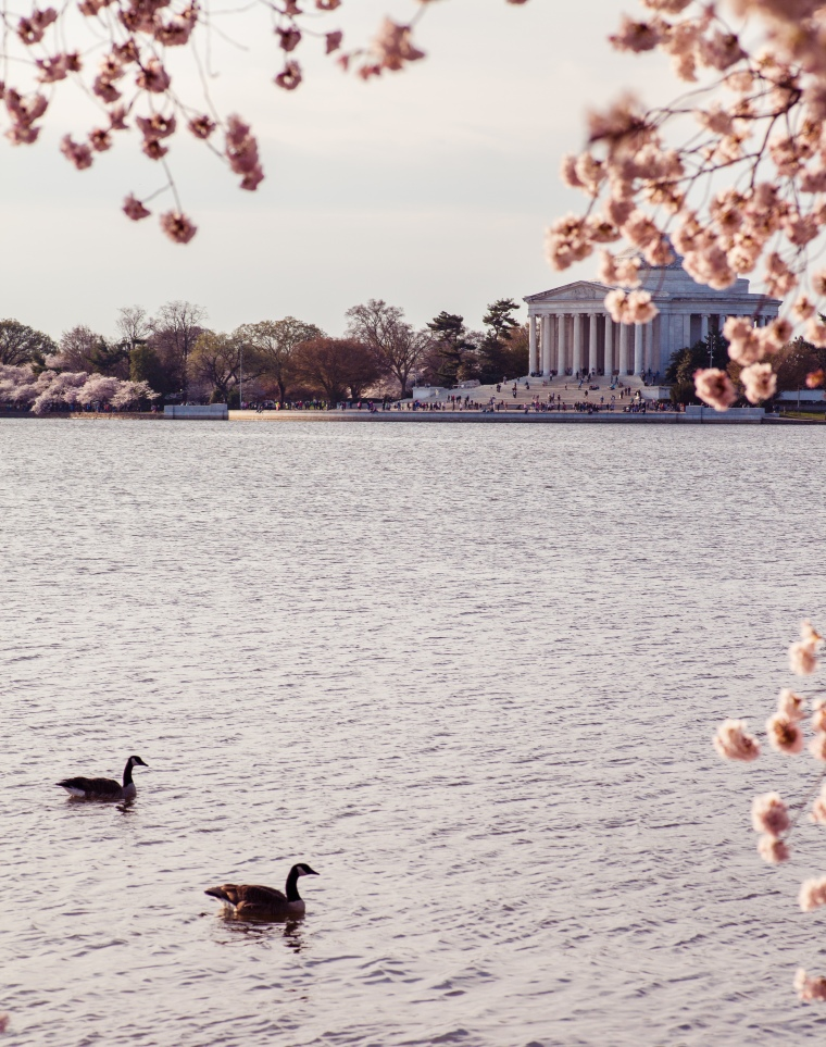 Tidal Basin DC cherry blossoms